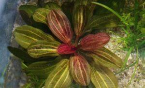 Echinodorus Hadi Red Pearl